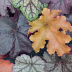Autumn Colour With Heuchera